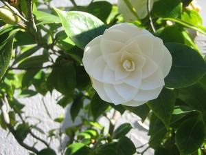 cvet - zlatni presek