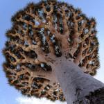 zmajevo drvo